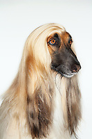 Afghan hound sitting close-up