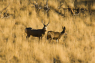 Mule deer (Odocoileus hemionus) buck and doe west of Livingston Montana<br /> PROPERTY RELEASED