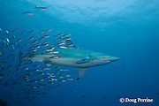 bronze whaler or copper shark, Carcharhinus brachyurus and jack mackerel, Trachurus novaezelandiae, Great Island, Three Kings Islands, off North Island, New Zealand ( South Pacific Ocean )