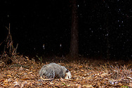 Virginia Opossum, North American Opossum (Didelphis virginiana) during a rain storm<br /> United States: Alabama: Tuscaloosa Co.<br /> Tulip Tree Springs off Echola Rd.; Elrod<br /> 21-Jan-2017<br /> J.C. Abbott &amp; K.K. Abbott<br /> captured with trap camera