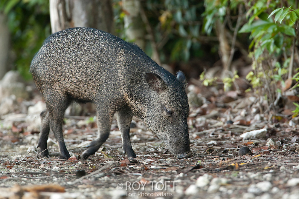 Endemic to Cozumel Island, Mexico, the Collared Peccary foraging for food.