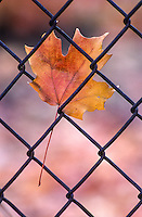 Fall Maple leaf trapped in a school fence.