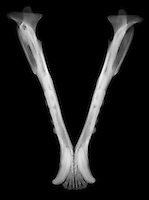 X-ray image of a black bear jaw (white on black) by Jim Wehtje, specialist in x-ray art and design images.