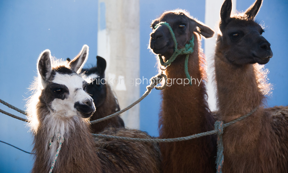 Llamas for sale at morning market, Quilotoa Loop high in the Andes, Ecuador.