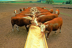 Cattle Feeding Agriculture