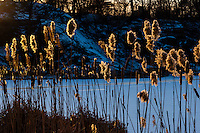 US, New York City, Central Park. Harlem Meer at sunset. Common Cattail, or Bulrush.