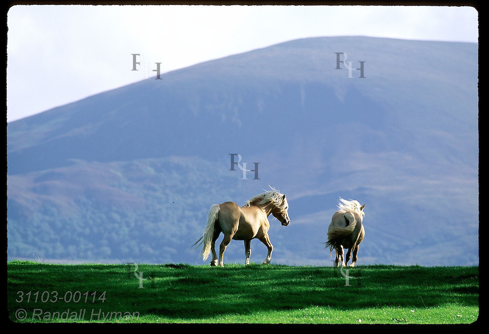 Pair of Haflinger horses disappear over ridge framed by Shehy Mountain looming behind in Killarney National Park, Ireland.