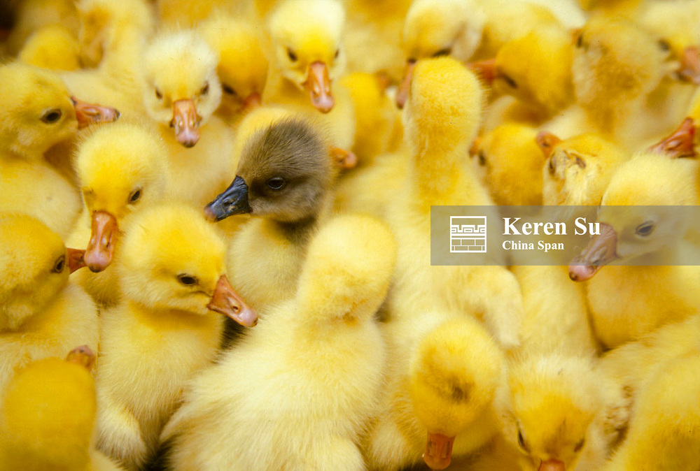 Ducklings, China