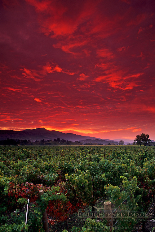 Stormy red dawn sunrise over vineyards near Yountville, Napa Valley, Napa County, California
