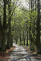 Avenue of horse chestnut trees lining a country lane in spring