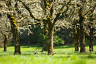 Oak trees in a meadow during Spring time near Sweet Home, OR