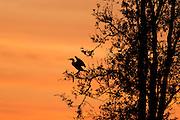 comorant silhouette at sunrise.<br /> - Savannah National Wildlife Refuge<br /> Hardeeville, SC. U.S.A
