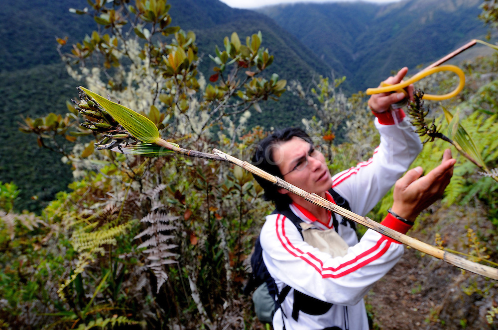 Peruvian entomologist Juan Francisco Ríos, from Universidad Andina de Cuzco, is doing a study about te interaction between a small local orchyd and the isects of Wayqecha area.