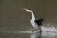 This picture shows the gracefulness of the mating rush of the Clark's grebes.<br /> <br /> The &quot;rush&quot; is one of the most wonderful behavior of the western grebes. The rush started with two birds turn to one side, lunge forward in synchrony, their bodies completely out of the water, and race across the water side by side with their necks curved gracefully forward. (From: AllAboutBirds.org)