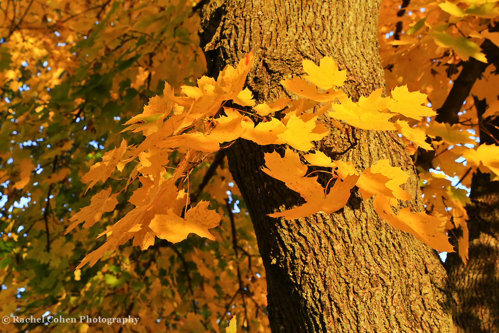 &quot;Focus on Yellow&quot;<br /> <br /> All the beauty of pure sunbathed Maple leaves in full autumn glory!!<br /> <br /> Fall Foliage by Rachel Cohen