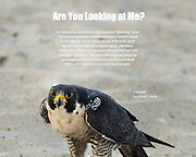 Peregrine Falcon found on the beach at Cocoa Beach, somewhat annoyed by the interruption of his breakfast.  Description of the falcon provided in script