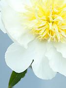 Paeonia lactiflora 'Cheddar Gold' - peony