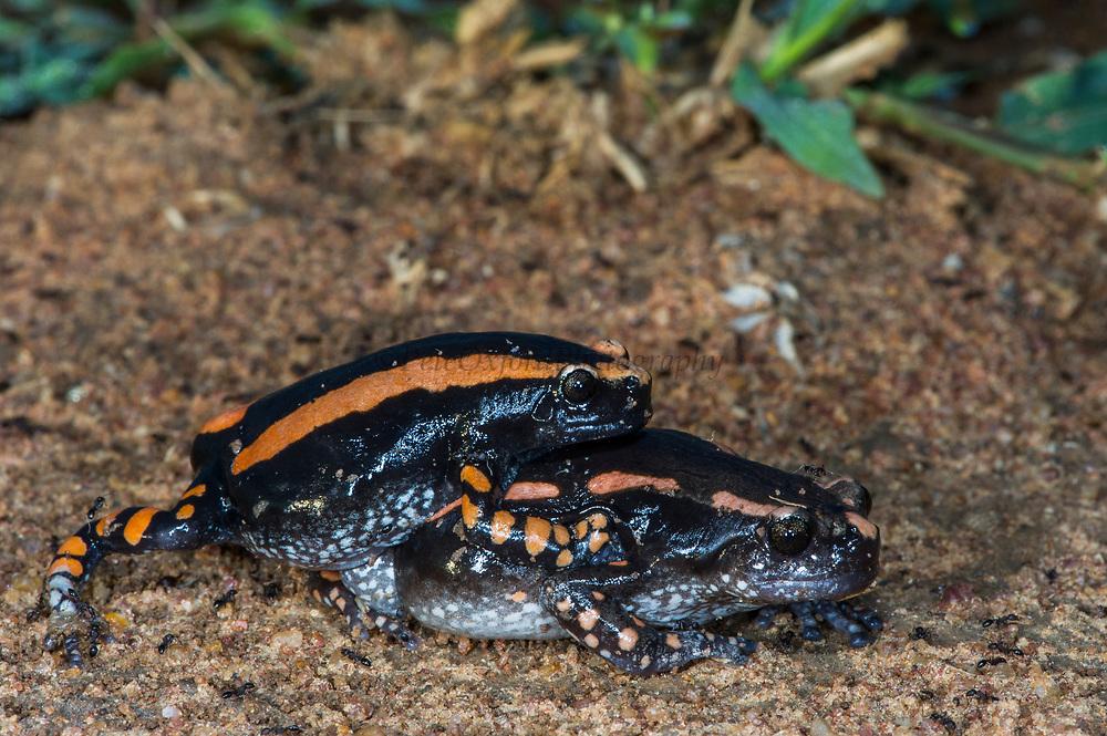 Banded rubber frog (Pyrynomantis bifasciatus)<br /> Marataba, A section of the Marakele National Park, Waterberg Biosphere Reserve<br /> Limpopo Province<br /> SOUTH AFRICA<br /> HABITAT & RANGE: Hot, semi-arid to subtropical savanna woodlands, grassland and bushveld vegetations.