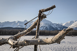 Steve Lewis, Raptor Management Coordinator, U.S. Fish & Wildlife Service used leg snare traps and also a net launcher to capture bald eagles on the Chilkat River in the Alaska Chilkat Bald Eagle Preserve. Pictured here is a leg snare trap attached to a driftwood log. Leg snare traps employ a lopped cord draped over a hinged perch. When a bald eagle lands on the perch a spring is sprung which tightens a looped cord around the bald eagle's legs. The trap was used to capture bald eagles for a study being conducted by Rachel Wheat, a graduate student at the University of California Santa Cruz. Wheat is conducting a bald eagle migration study of eagles that visit the Chilkat River for her doctoral dissertation. She hopes to learn how closely eagles track salmon availability across time and space. The bald eagles are being tracked using solar-powered GPS satellite transmitters (also known as a PTT - platform transmitter terminal) that attach to the backs of the eagles using a lightweight harness. During late fall, bald eagles congregate along the Chilkat River to feed on salmon. This gathering of bald eagles in the Alaska Chilkat Bald Eagle Preserve is believed to be one of the largest gatherings of bald eagles in the world.