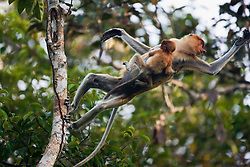 A mother proboscis monkey (Nasalis larvatus) jumps in a mid air with her infant hanging on her chest, Borneo, Indonesia