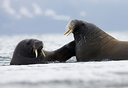 Walrus (Odobenus rosmarus) at Spitsbergen, Svalbard