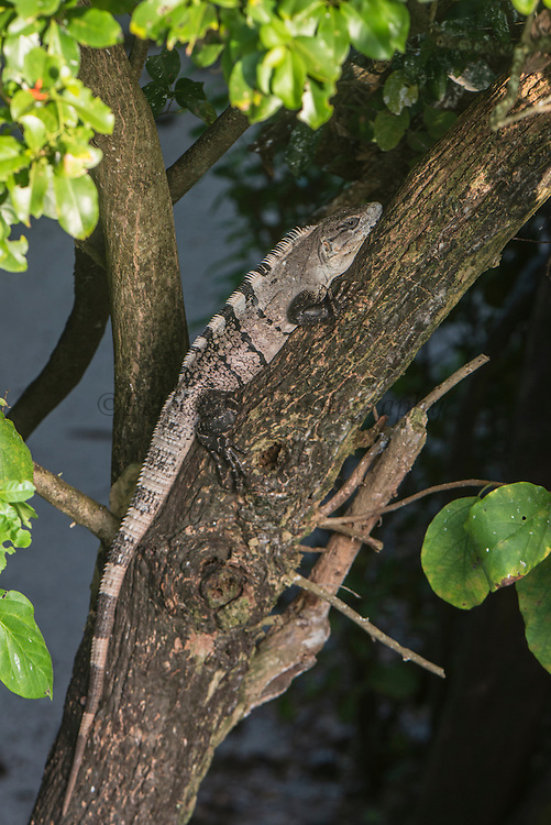 Black Spiny-tailed Iguana or Wish Willy (Ctenosaura similis)<br /> Halfmoon Caye, Lighthouse Reef Atoll<br /> Belize<br /> Central America<br /> Native to Mexico & Central America.<br /> Fastest running lizard