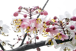 Cassia Bakeriana Pink Shower Wishing Tree#5