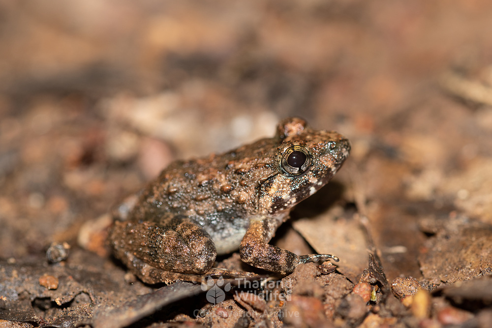 Limnonectes gyldenstolpei (common name: Gyldenstolpe's frog) is a species of frog in the Dicroglossidae family. It is found in northern Thailand, Laos, and southwestern Cambodia.