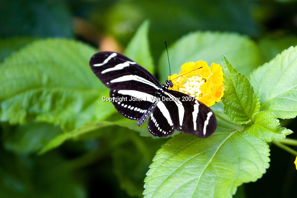 Zebra Longwing butterfly, Heliconius charitonius, with wings spread