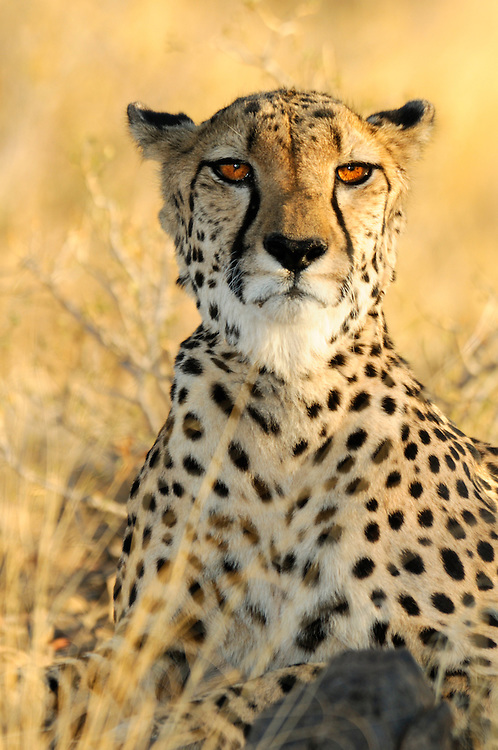 Cheetah (Acinonyx jubatus), Quiver Tree Restcamp, Keetmanshoop, Karas Region, Namibia.