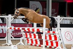 006, Biebosschen Gorgio Armani<br /> Brp Keuring - Stal Hulsterlo - Meerdonk 2016<br /> © Hippo Foto - Dirk Caremans<br /> 17/03/16