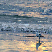We spent several days on Cape Ann in Gloucester, MA.  Our motel was on the beach making these sunrise shots very accessible.  This gull is just standing, enjoying the start of a beautiful day.