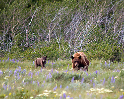 Many Glaciers Lodge, Glacier National Park, Montana:  A mother bear and her cub explore a meadow near the main road into the hotel.