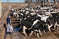 PEON ARREA VACAS HOLANDO-ARGENTINO PARA ENTRAR A LA SALA DE ORDEÑE DE UN TAMBO, PROVINCIA DE SANTA FE, ARGENTINA (PHOTO © MARCO GUOLI - ALL RIGHTS RESERVED)