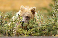 A Grizzly Bear Eating Lunch Near Peyto Lake in Banff National Park<br /> <br /> ©2015, Sean Phillips<br /> http://www.RiverwoodPhotography.com