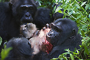 Chimpanzee<br /> Pan troglodytes<br /> Eating red colobus monkey<br /> Tropical forest, Western Uganda