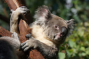 Darling Harbour. Sydney Wildlife World. Koalas.