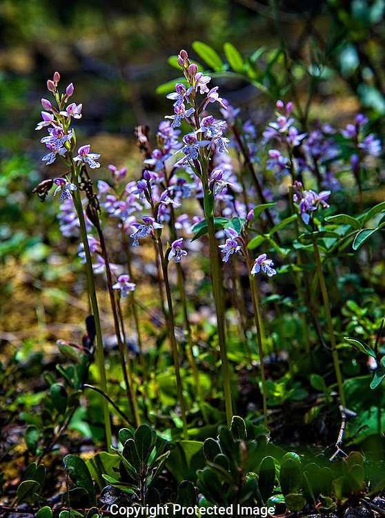 Wild flowers at Hooodoo Creek., British Columbia, canada, Isobel Springett