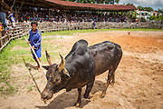 03 NOVEMBER 2012 - HAT YAI, SONGKHLA, THAILAND:  A bull's owner catches his bull after it lost a bullfight at the bullfighting arena in Hat Yai, Songkhla, Thailand. Bullfighting is a popular past time in southern Thailand. Hat Yai is the center of Thailand's bullfighting culture. In Thai bullfights, two bulls are placed in an arena and they fight, usually by head butting each other until one runs away or time is called. Huge amounts of mony are wagered on Thai bullfights - sometimes as much as 2,000,000 Thai Baht ($65,000 US).     PHOTO BY JACK KURTZ