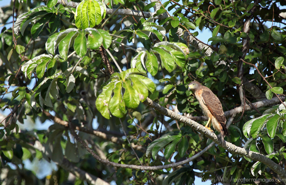 South America, Brazil, Pantanal. The Roadside Hawk in the Pantanal.