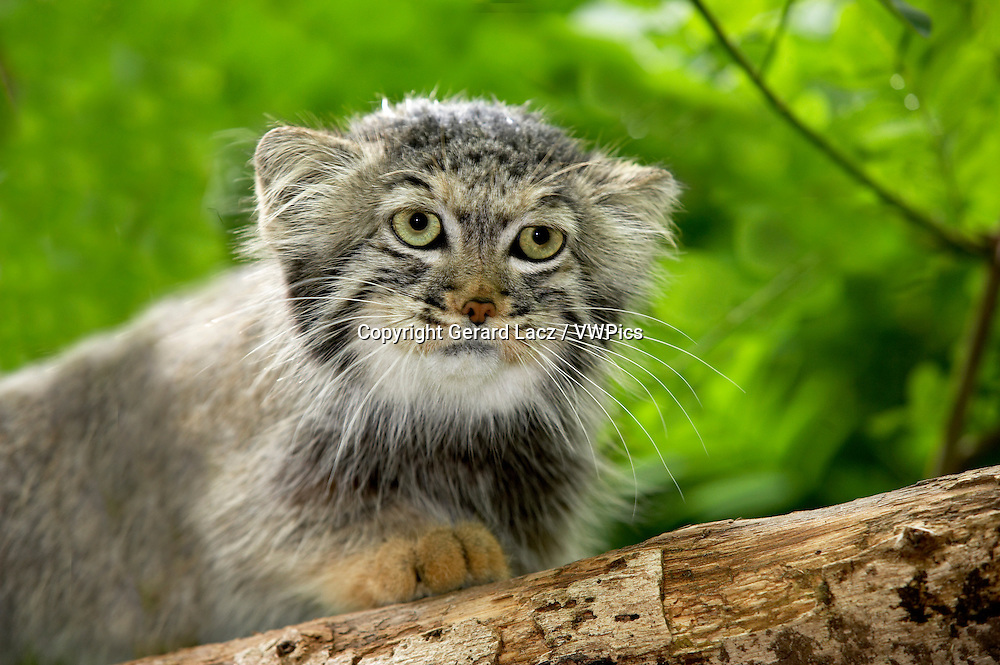 Manul or Pallas's Cat, otocolobus manul, Portrait of Adult