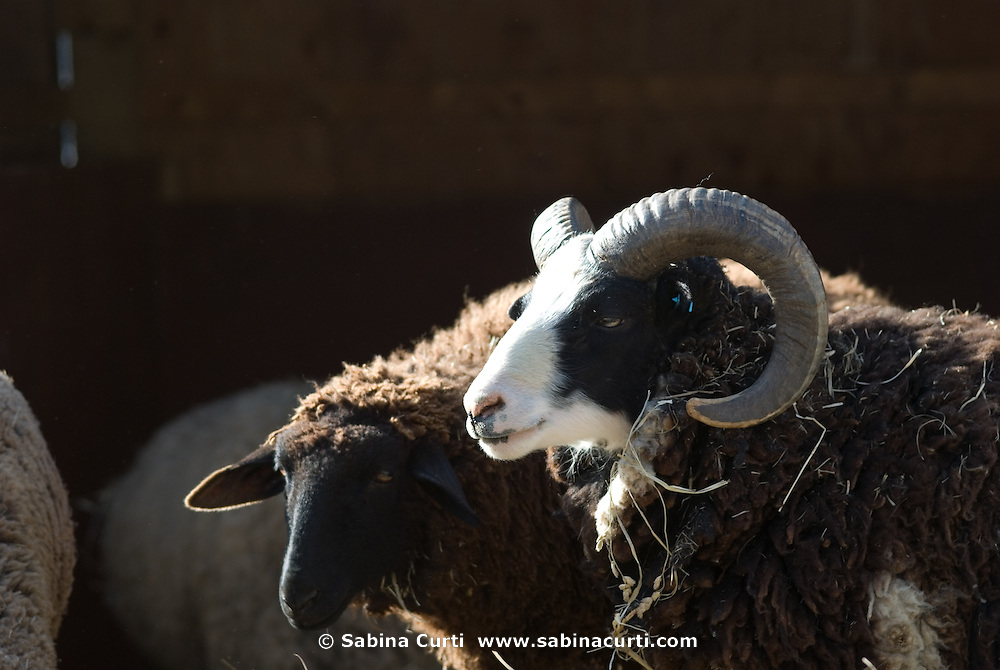 Early Spring, sheep, ram, sustainable family farm, Hillsdale, NY
