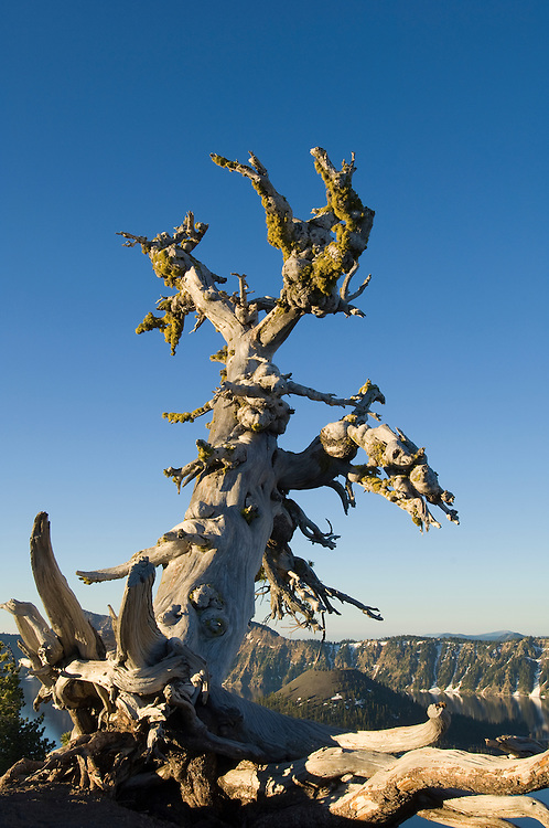 Gnarled old whitebark pine tree overlooking Wizard Island at Crater Lake National Park, Oregon.