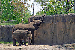 14 May 2013:  Elephant. This animal is a captive animal and well cared for by a zoo.