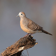 The zebra dove (Geopelia striata) also known as barred ground dove, is a bird of the dove family, Columbidae, native to Southeast Asia.