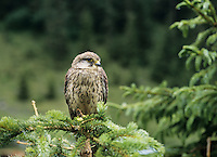 Falcon perched on branch