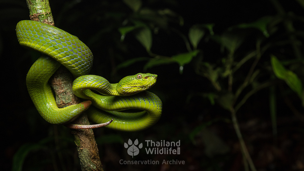 Banded Pit Viper (Trimeresurus fucatus) female in Mueang Krabi, Thailand
