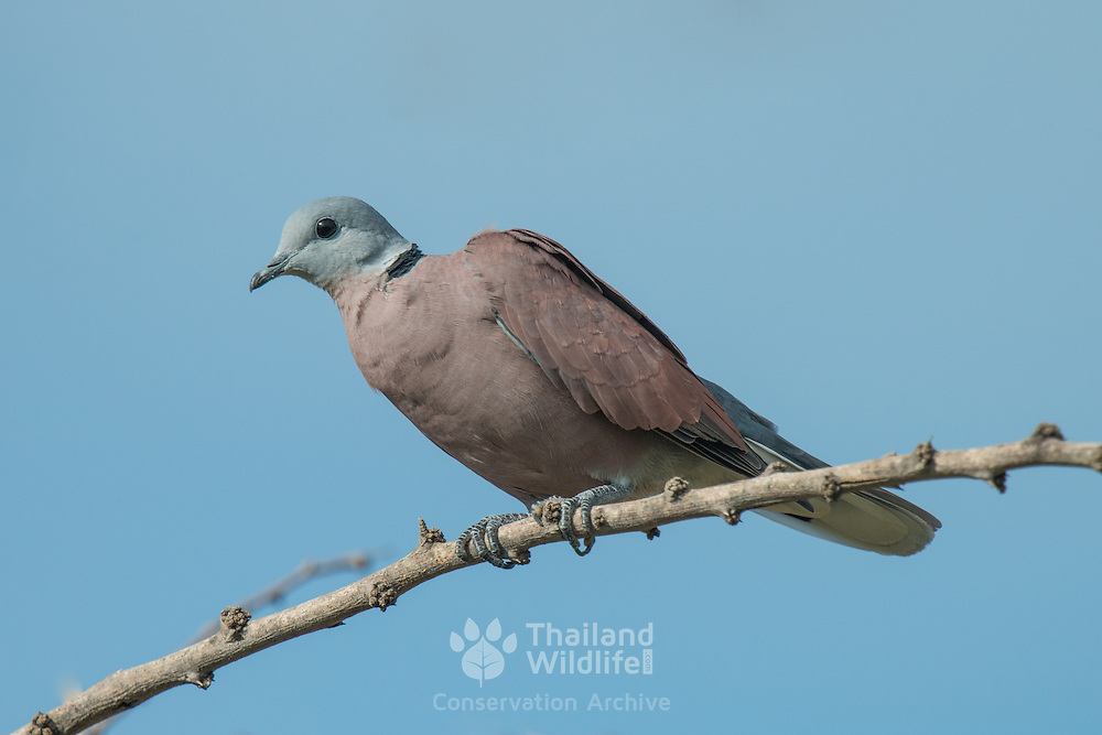 The red turtle dove (Streptopelia tranquebarica), also known as the red collared dove, is a small pigeon. Laem Pak Bia, Petchabu