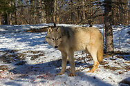 Gray wolf (Canis lupus) in winter habitat. Captive pack.
