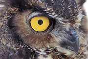 Great Horned Owl (Bubo virginianus) eye detail. Captive - Portland, Oregon.